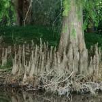 Árbol rodeado de neumatoforos.