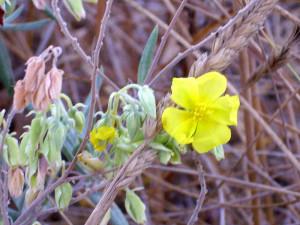 Halimium atriplicifolium