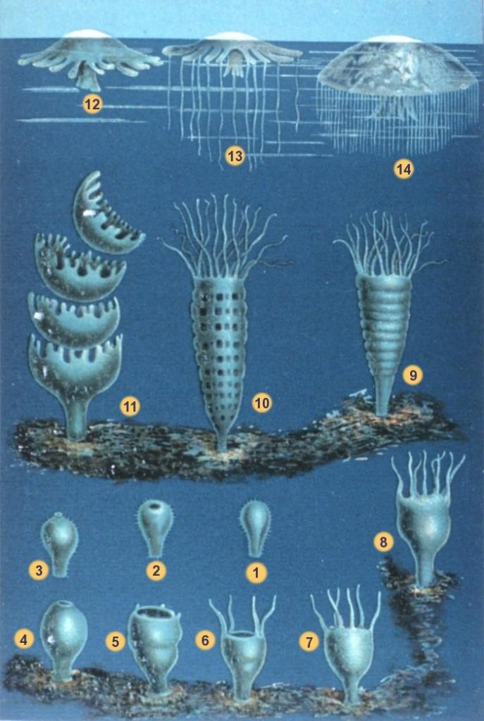 Los cnidarios pasan de una fase inmóvil fijada al suelo (sésil) a una de vida libre.