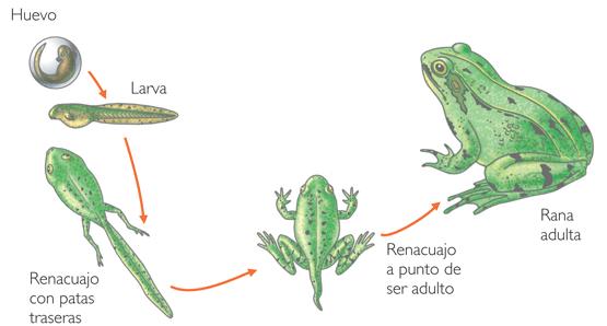 Los anuros pasan de un medio acuático a uno semiacuático